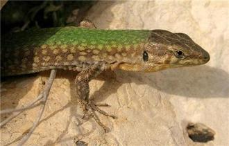 maltese-wall-lizard