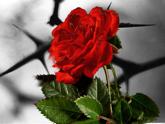 There is no rose without a thorn essay