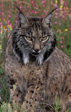 The Wednesday List Lynx. This photogenic one is an Iberian Lynx.