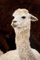 Lloyd the Llink Llist Llama makes his 5th annual appearance. Can Spring be far behind?