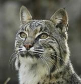 Wednesday List Lynx