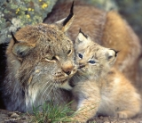 The Wednesday List Lynx has some company this week. [Photo: National Geographic]