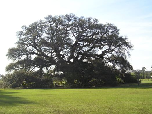 Constitution Oak, a live oak at the junction between the Pea River and the Choctawhatchee River  in Geneva, Alabama. It is believed to be among the largest and oldest live oaks in the state. [Photo: Wikipedia Commons]