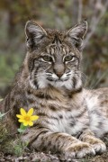 Lynx with flower