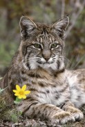 Species rarely seen: The Thursday List Lynx