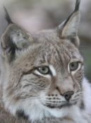 Wednesday List Lynx, the understudy