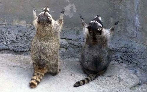 Raccoon Worship